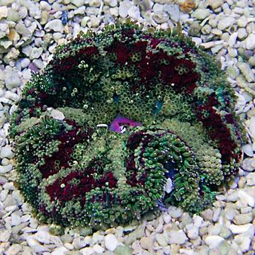 carpet anemone. mini carpet anemone
