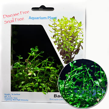 Bacopa Plant - Tissue Cultured