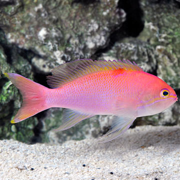 Bali Lunate Anthias