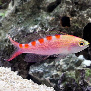 Saltwater aquarium fish for marine aquariums red saddled for Red saltwater fish