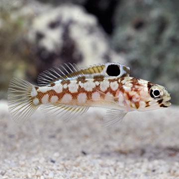 Chinstrap Jawfish