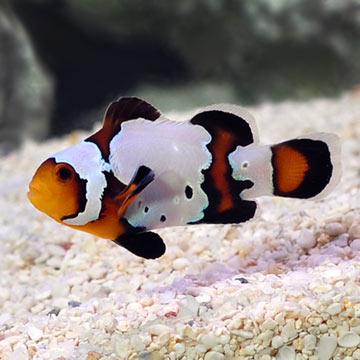 Black Ice Ocellaris Clownfish, Captive-Bred