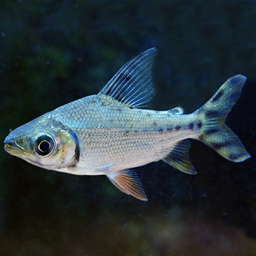 Redfin Prochilodus