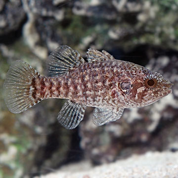 Speckled Fowler Cardinalfish