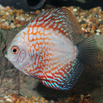 Pigeon blood discus for Discus fish types