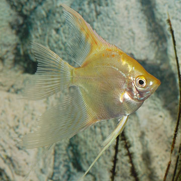 Tropical fish for freshwater aquariums gold veil for Fish compatible with angelfish