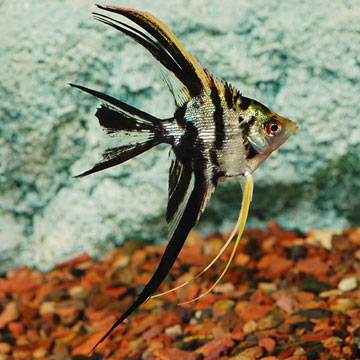 Tropical fish for freshwater aquariums marble veil angel for Fish compatible with angelfish