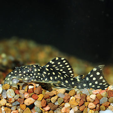 Galaxy (L-07) Plecostomus