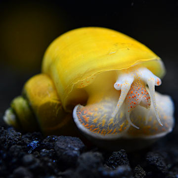 How to Care for Mystery Snails forecast