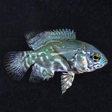 Tropical Fish For Freshwater Aquariums Zebra Oscar