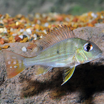 Redstriped Eartheater Cichlid