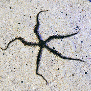 Brittle Sea Star (Build Your Own Kit)