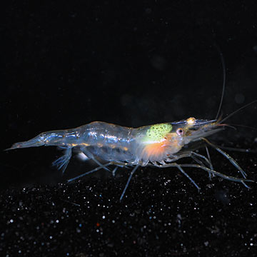 Grass Shrimp - Freshwater