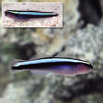 Saltwater Aquarium Corals for Marine Reef Aquariums #1: p ORAHybridCleanerGoby
