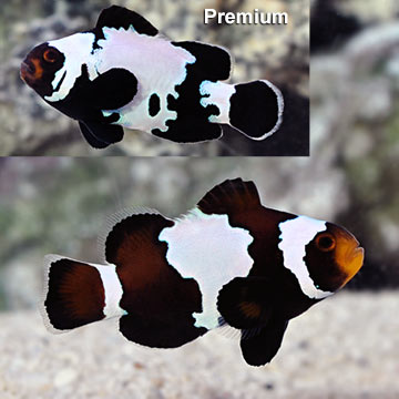 Clownfish For Sale Pets At Home