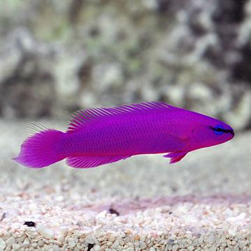 ORA Fish, Corals & Inverts