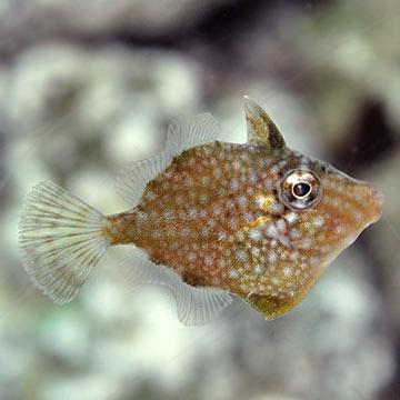 Saltwater aquarium corals for marine reef aquariums for Aiptasia eating fish