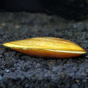 Freshwater Asian Gold Clam