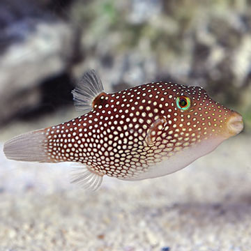 Central American Sharpnose Puffer