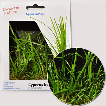 Cyperus Plant -Tissue Cultured