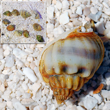 Nassarius Snail, Tiny (Build Your Own Kit) - 10 Pack