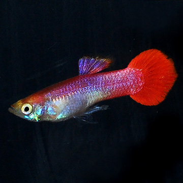 Red Coral Male Guppy