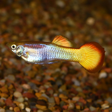 Tequila Sunrise Guppy, Male