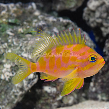 Blotched Anthias