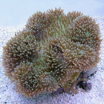 Saltwater Aquarium Corals for Marine Reef Aquariums: Green ...