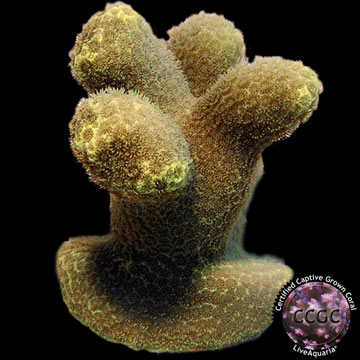 Canary Porites Coral, Aquacultured