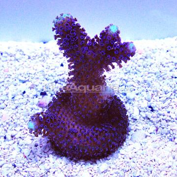 ... Corals for Marine Reef Aquariums: Purple Stylophora Coral