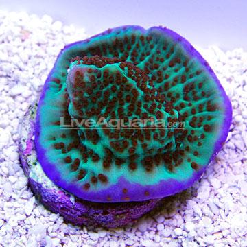 ... Corals for Marine Reef Aquariums: Purple Rim Danae Montipora Coral