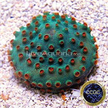 ... Corals for Marine Reef Aquariums: Meteor Shower Cyphastrea Coral