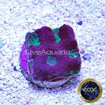 ... Corals for Marine Reef Aquariums: Bicolor Goniastrea Coral