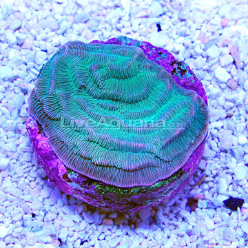 ... Corals for Marine Reef Aquariums: Green Pachyseris Coral