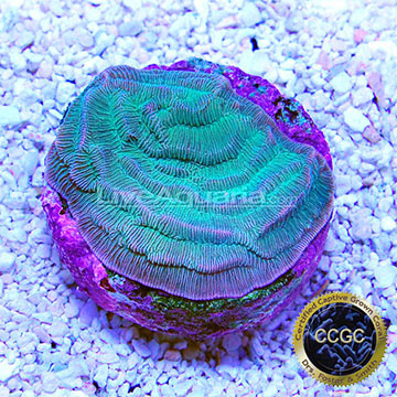 Certified Captive Grown Corals