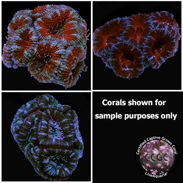 LiveAquaria® Certified Aussie Lord Frag 3 Pack,  Aquacultured