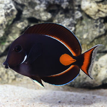 Achilles Tang EXPERT ONLY