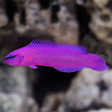 Purple dottyback images galleries for Purple freshwater fish