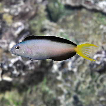 Harptail Blenny, Captive-Bred ORA®