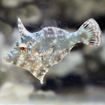 Saltwater aquarium fish for marine aquariums aiptasia for Aiptasia eating fish