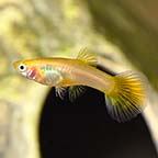 Golden Cobra Guppy, Female