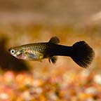Black Guppy, Female