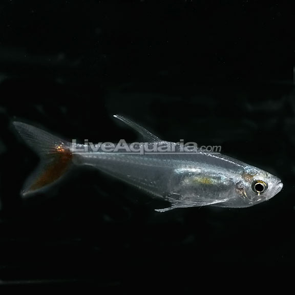 Filigree Bloodfin Tetra