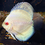 Albino Blue Diamond Discus
