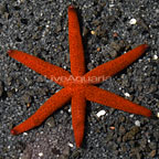 Linckia Sea Star, Red