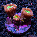 Candy Cane Coral, Aquacultured ORA®