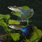 Blue Delta Guppy (Pair)
