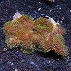 Frilly Bounced Mushroom Coral