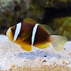 Biota Captive-Bred Blue Striped Clownfish